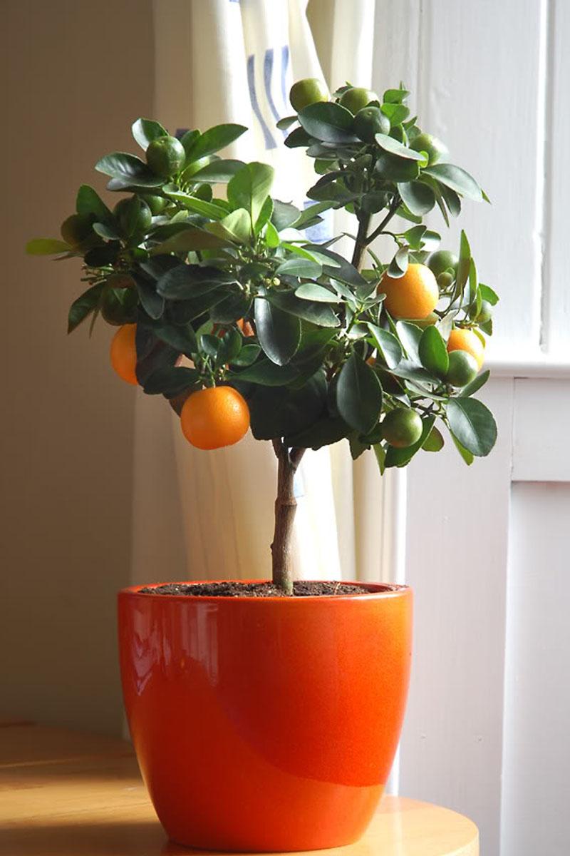 Комнатные цветы мандарин фото